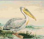 White-Pelican